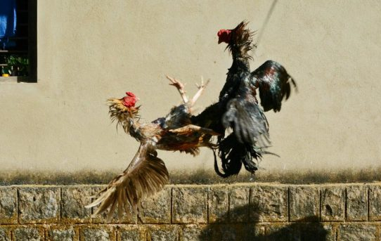 Keuntungan Bermain Sabung Ayam