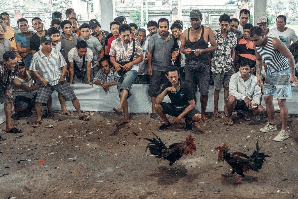 Penghasilan Dari Sabung Ayam